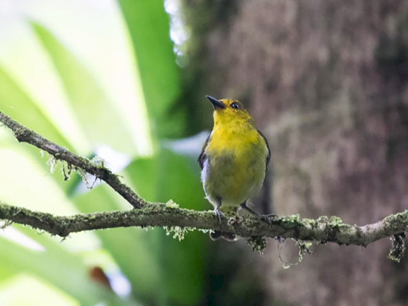 Black-and-yellow Tanager - Matthew Bell