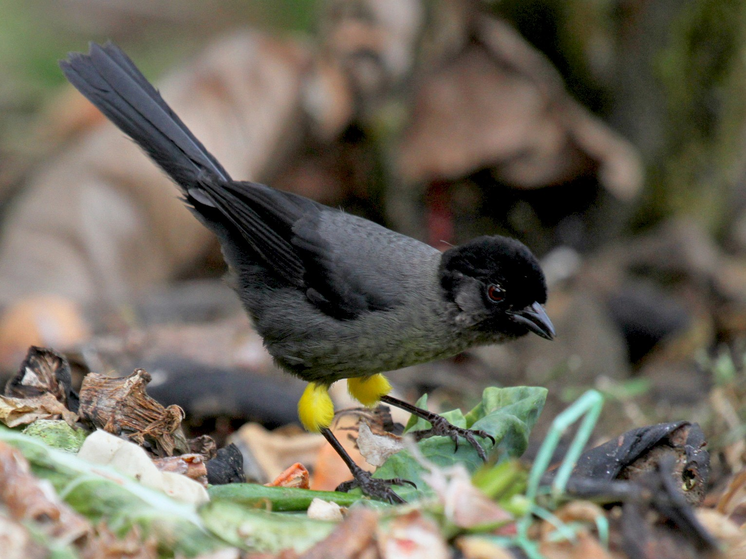 Yellow-thighed Brushfinch - Matthew Grube