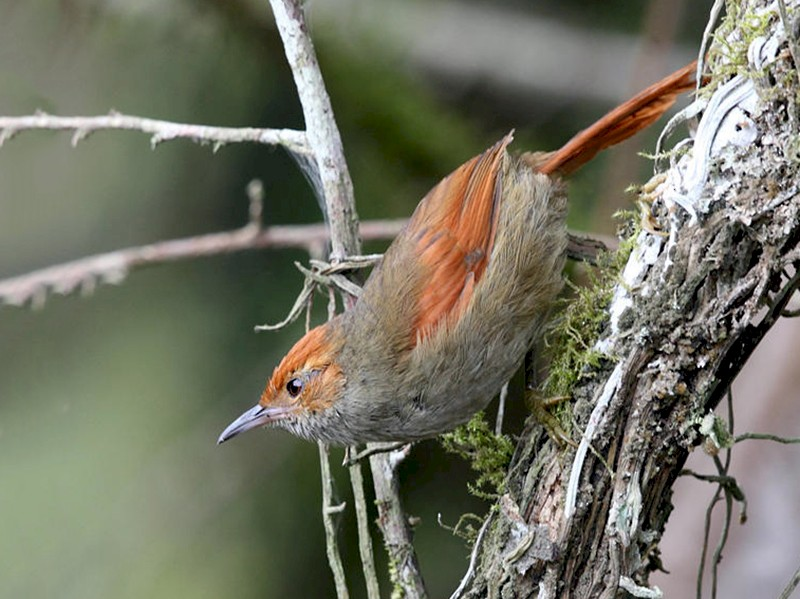 Red-faced Spinetail - Tom Murray
