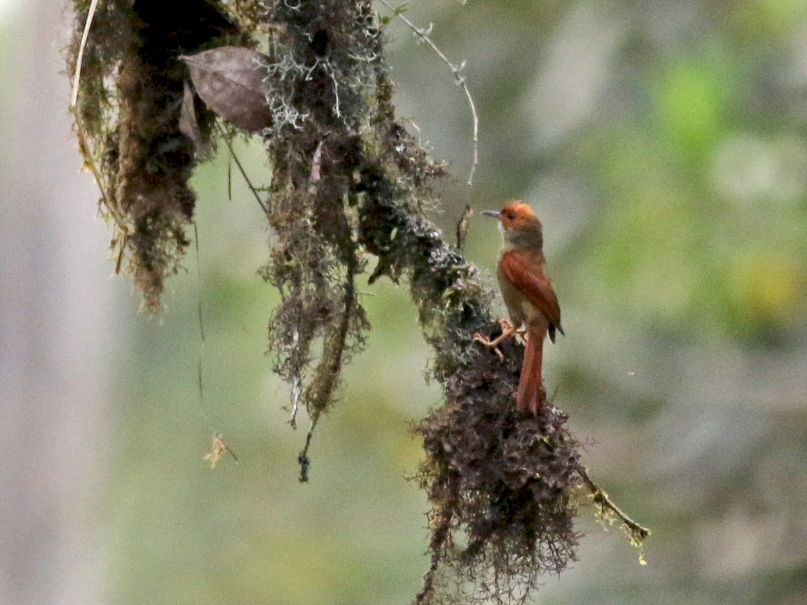 Red-faced Spinetail - Jay McGowan
