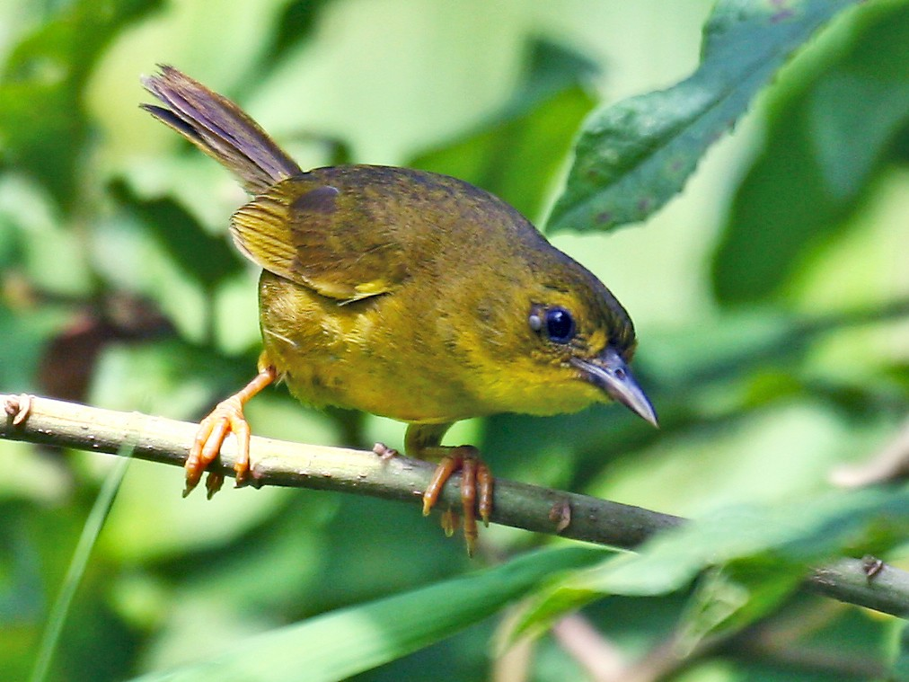 Olive-crowned Yellowthroat - Michael Woodruff