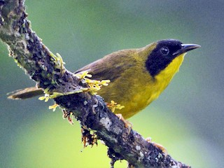 - Olive-crowned Yellowthroat