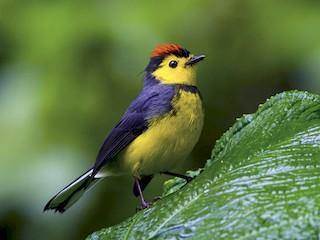 - Collared Redstart
