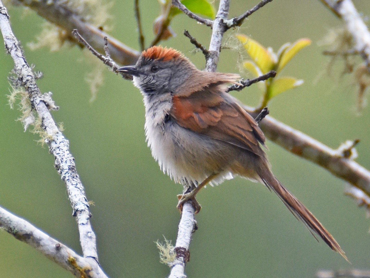 Pale-breasted Spinetail - Luke Berg