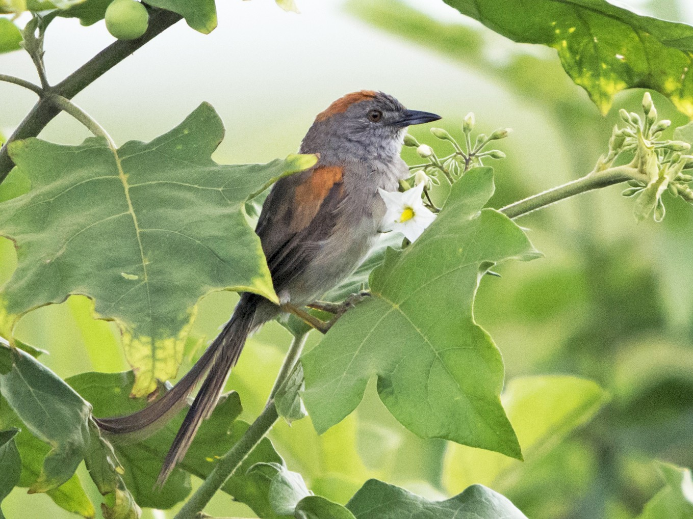 Pale-breasted Spinetail - Jerome Foster