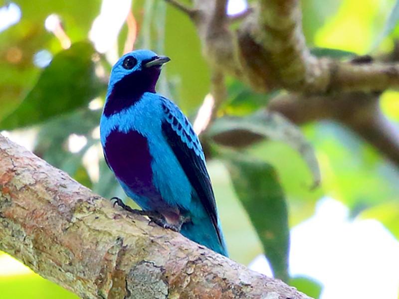 Turquoise Cotinga - Tom Murray
