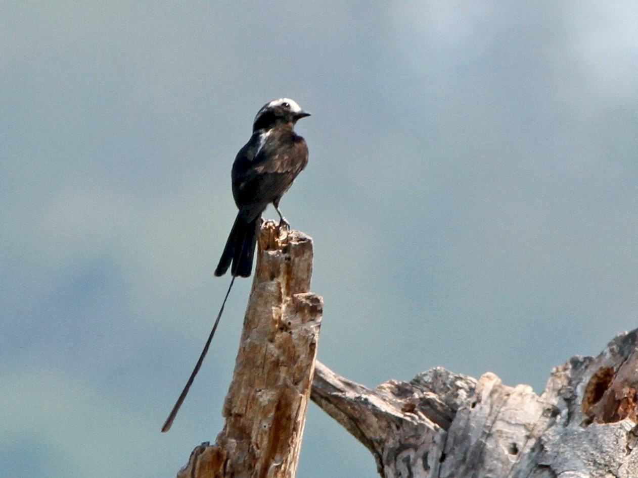 Long-tailed Tyrant - Georges Duriaux