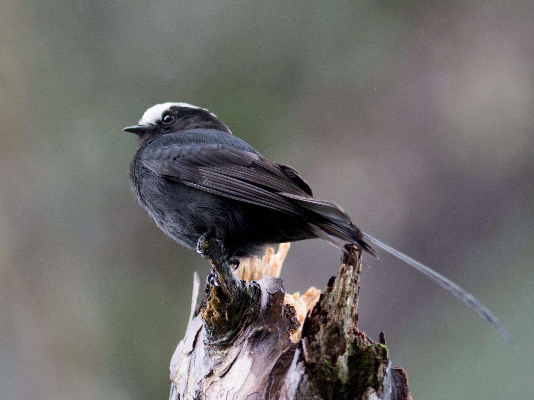 Long-tailed Tyrant - Hudson - BirdsRio
