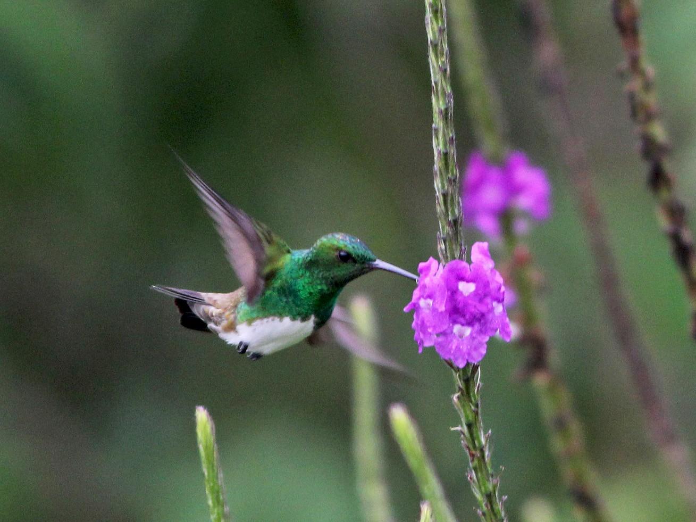 Snowy-bellied Hummingbird - Scott Olmstead