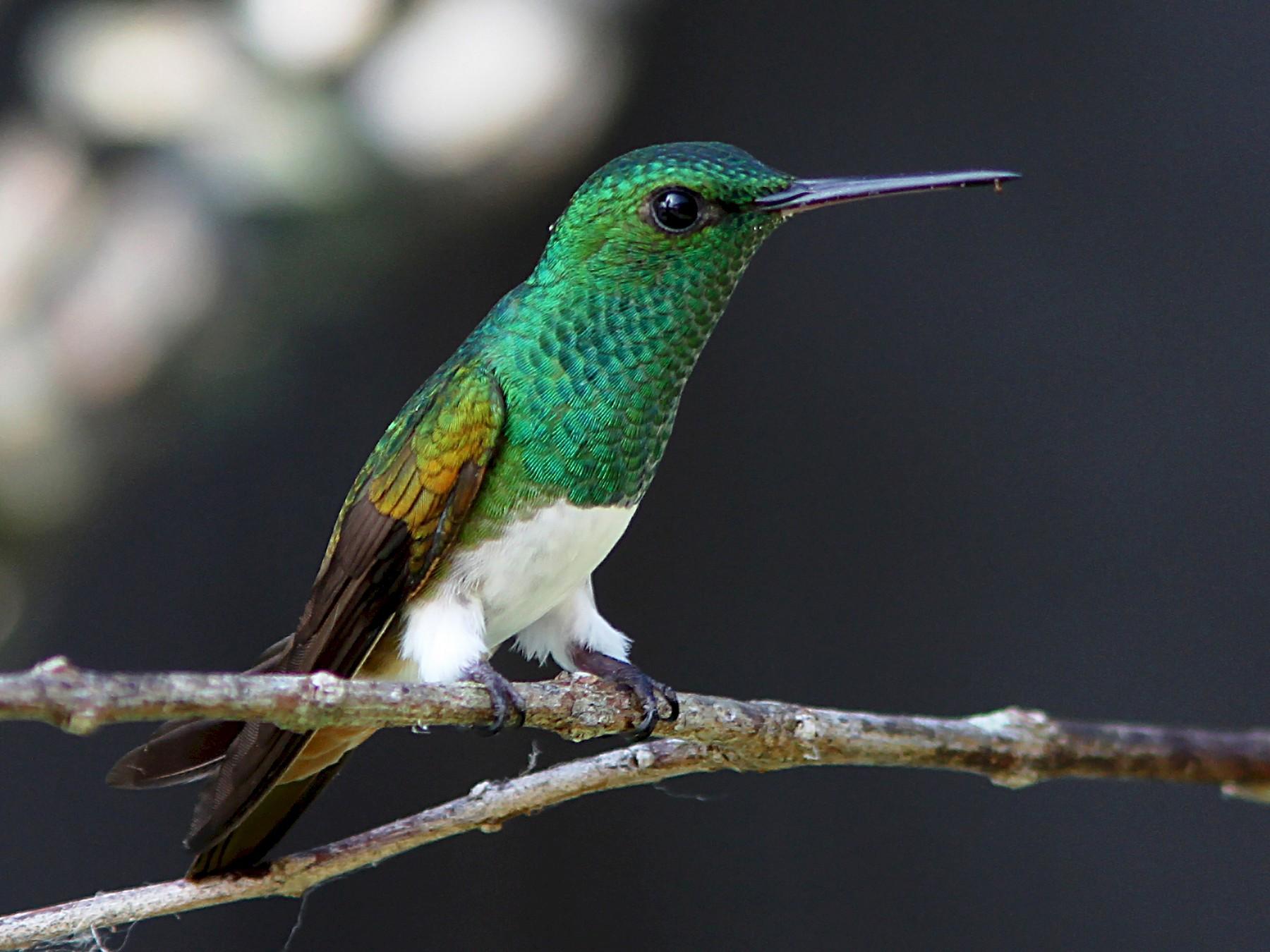 Snowy-bellied Hummingbird - Bradley Hacker
