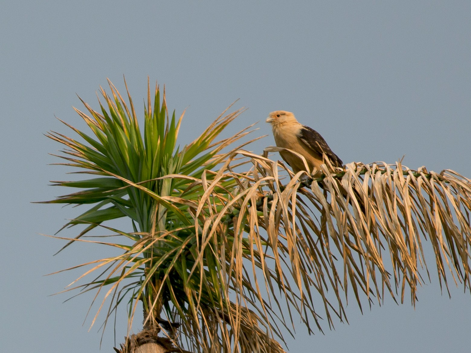 Yellow-headed Caracara - Chris Wood