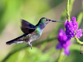 - Charming Hummingbird