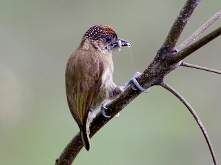 - Olivaceous Piculet