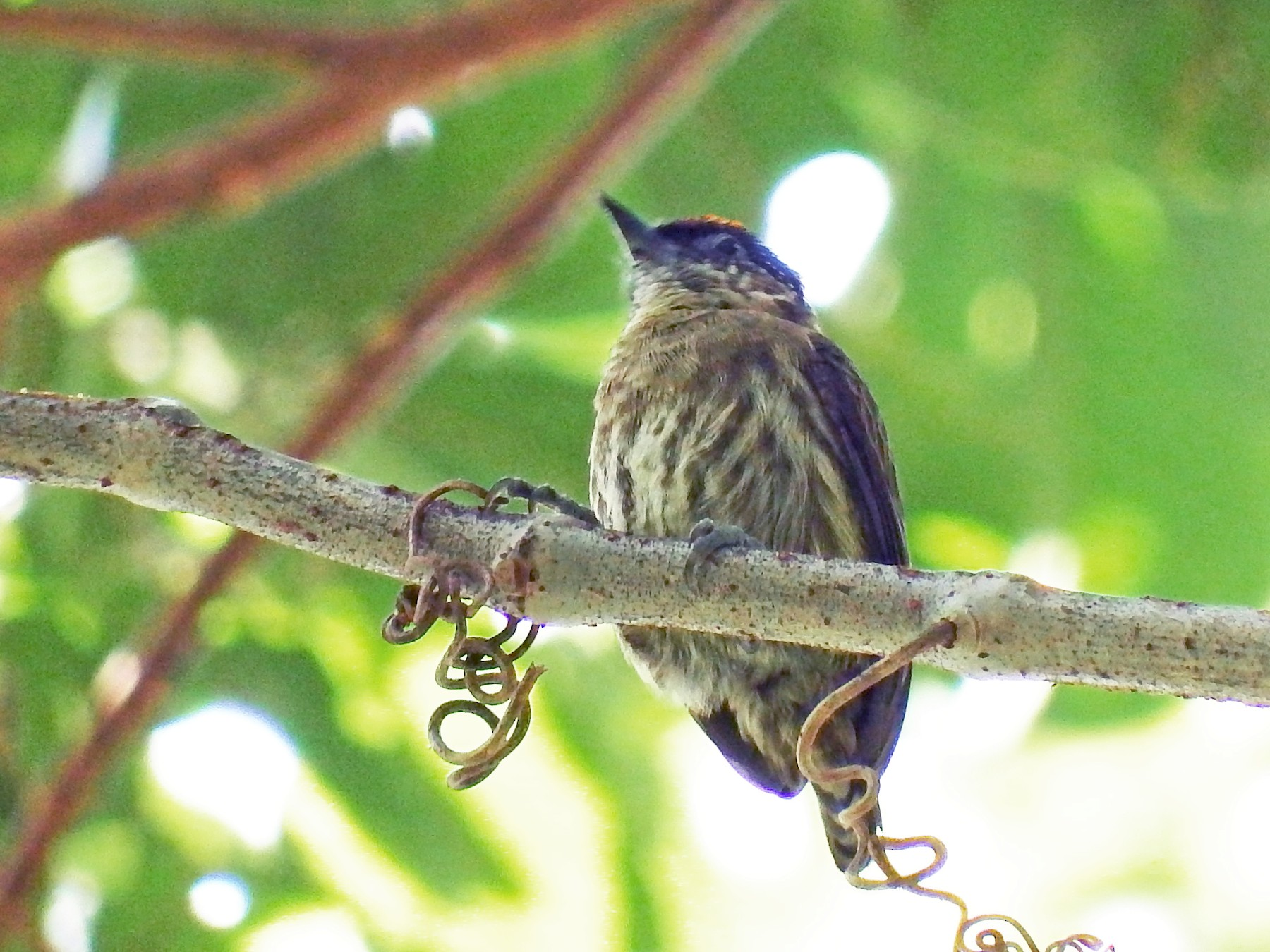 Olivaceous Piculet - Mayron McKewy Mejia