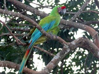 - Great Green Macaw