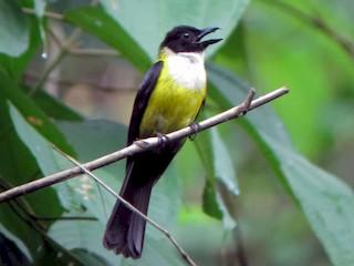 - White-throated Shrike-Tanager