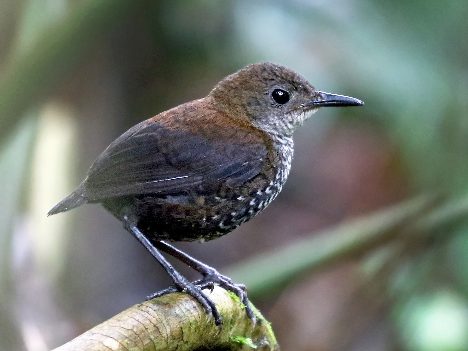 Scaly-breasted Wren - Andrew Spencer