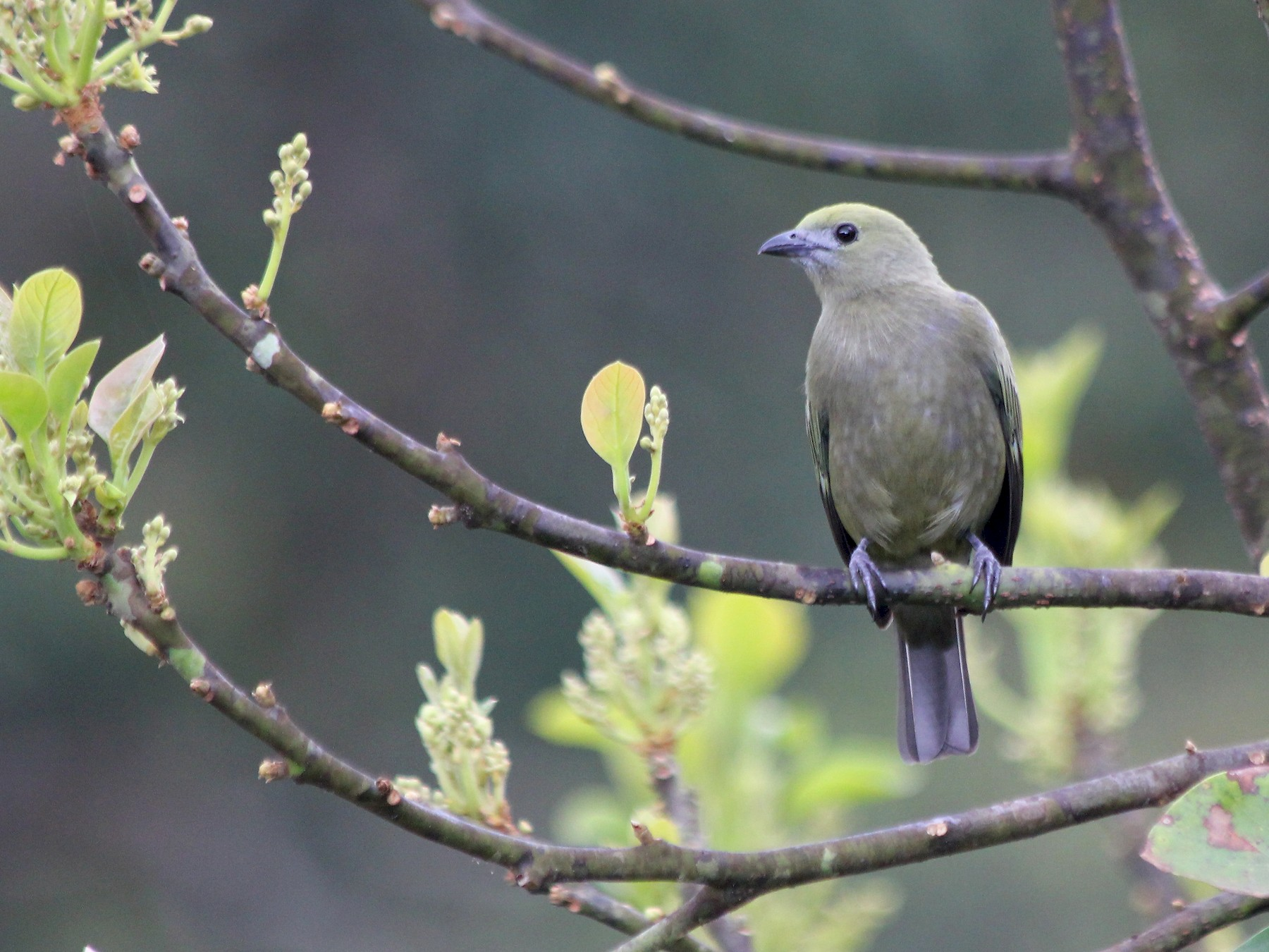 Palm Tanager - Devin Griffiths