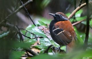 - Cordillera Azul Antbird