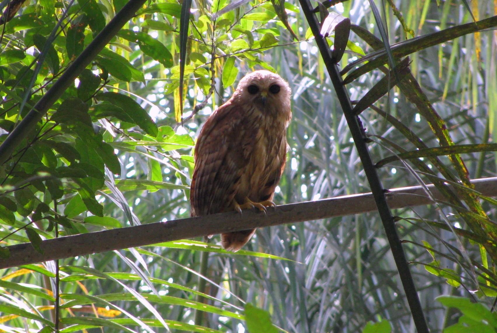 Rufous Fishing-Owl - Troels Eske Ortvad