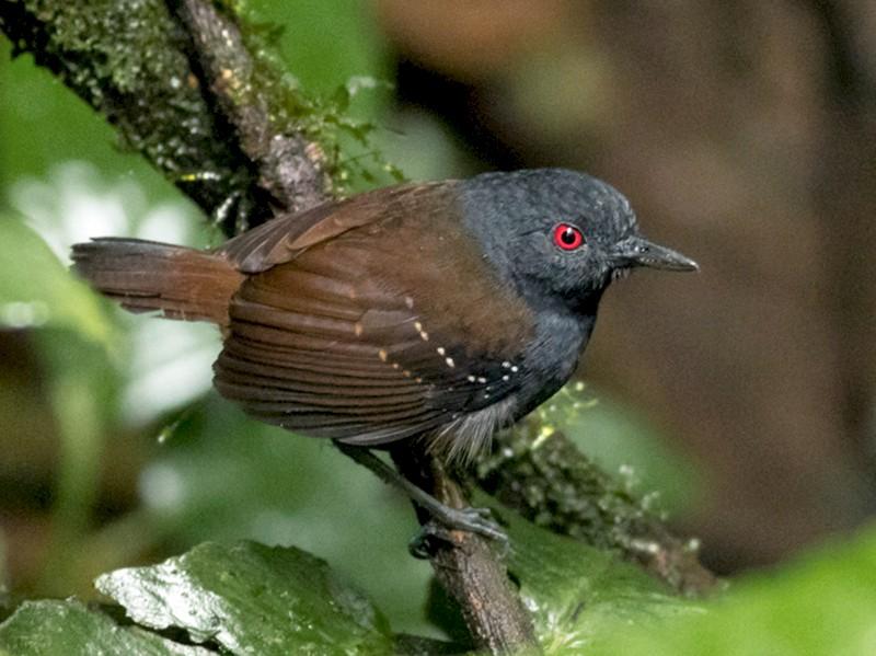 Dull-mantled Antbird - Tom Johnson