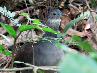 - Slaty-breasted Tinamou
