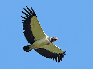 - King Vulture