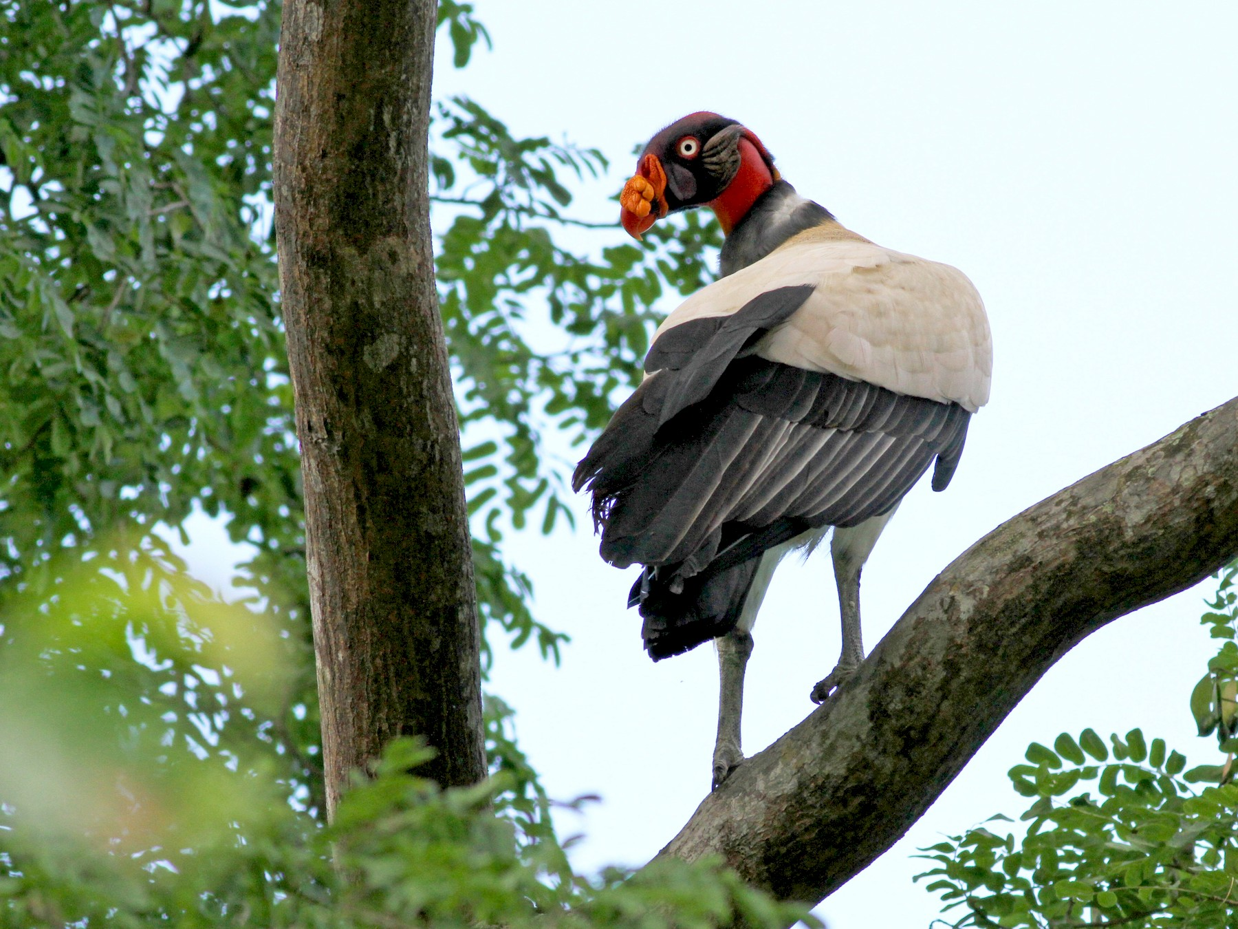 King Vulture - Jay McGowan