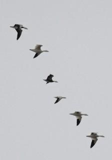 Ross's Goose, ML41560291