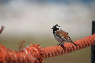 - Cape Sparrow