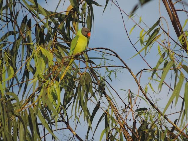 Gray-headed Parakeet