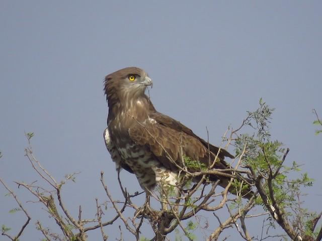 Short-toed Snake-Eagle