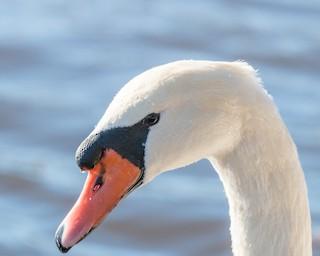 Mute Swan, ML41870641