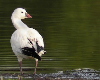 Ross's Goose, ML41930351