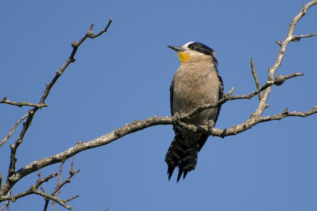 White-fronted Woodpecker