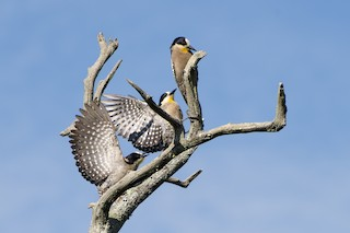 - White-fronted Woodpecker