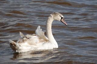 Mute Swan, ML42072251