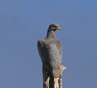Band-tailed Pigeon, ML42116751