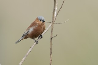 - Chestnut Seedeater