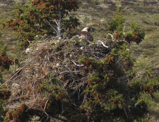 Nest site (Northwest Territories, Canada).