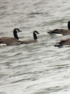 Cackling Goose, ML42246871