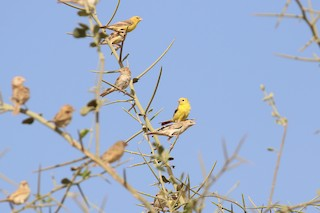 - Sudan Golden Sparrow