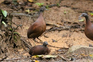 Brown Tinamou