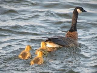 Cackling Goose, ML42287221
