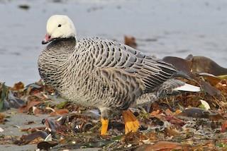 Emperor Goose, ML42358771