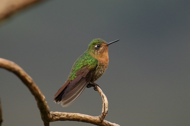 Tyrian Metaltail (Tyrian)