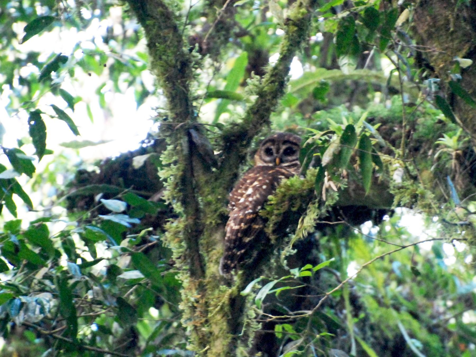 Fulvous Owl - Ken Chamberlain