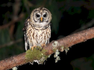 - Fulvous Owl