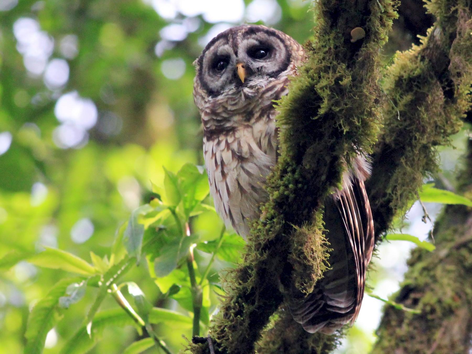 Fulvous Owl - Eric Antonio Martinez