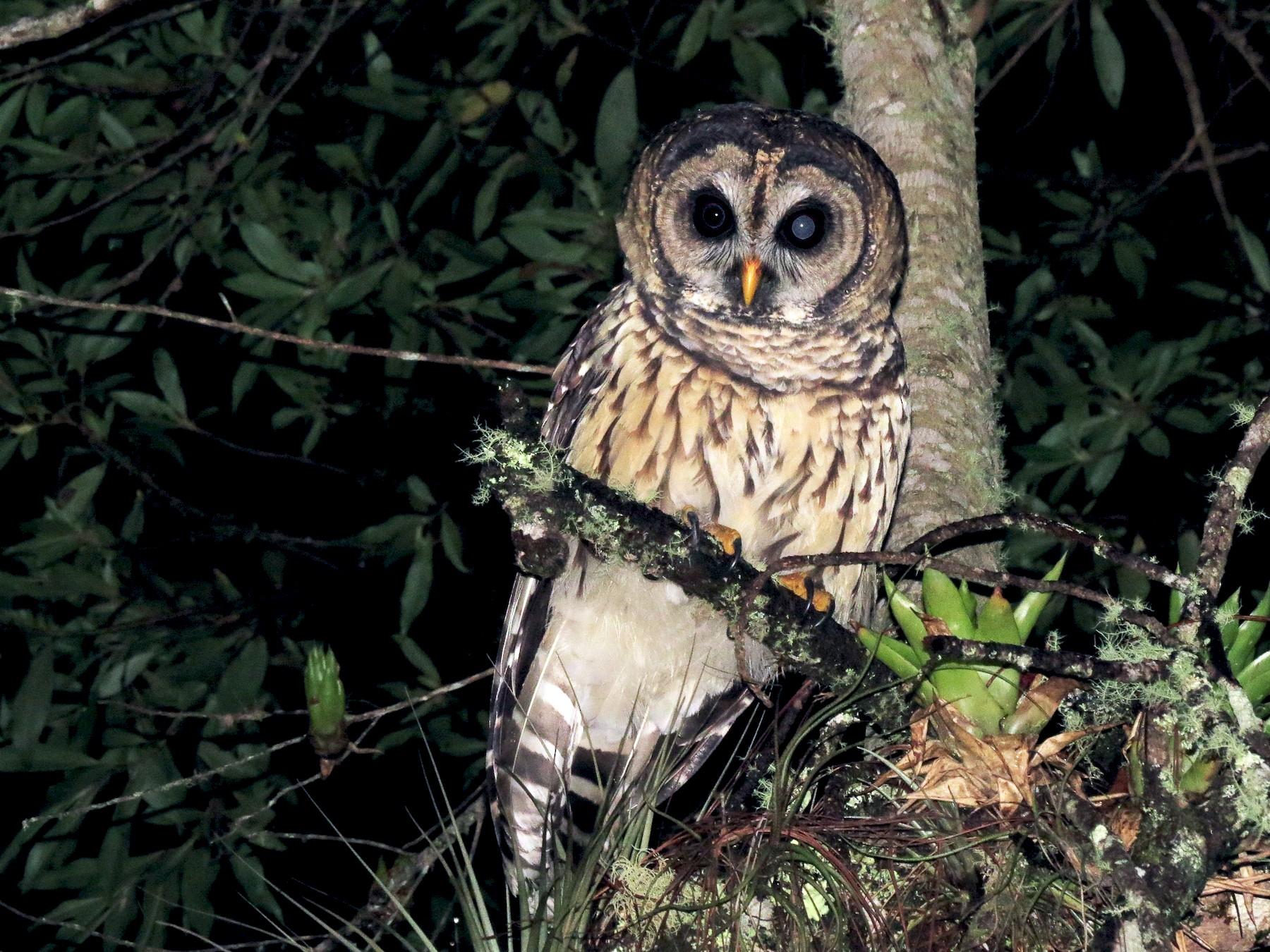 Fulvous Owl - John van Dort